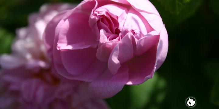 Чайная роза — омоложение.